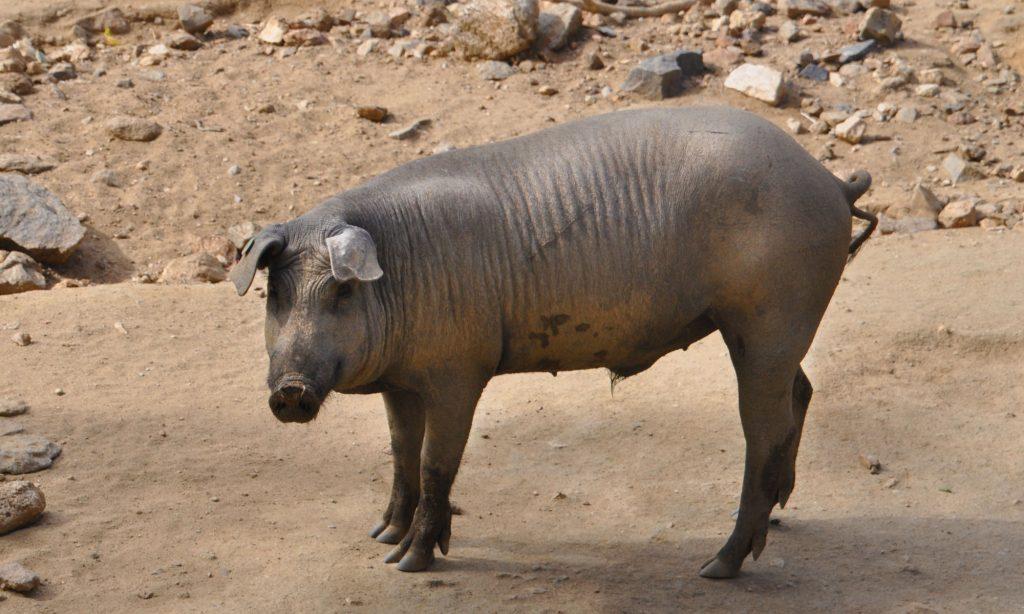 De Sierra de Aracena staat bekend om het beroemde zwarte Ibérico-varken
